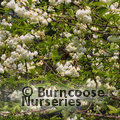 Small image of HALESIA