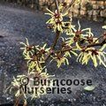 HAMAMELIS japonica 'Brentry'