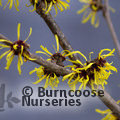 Photo of HAMAMELIS mollis