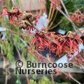 Small image of HAMAMELIS