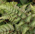 HARDY FERNS Athyrium niponicum var. pictum 'Red Beauty'