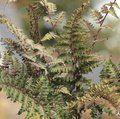 HARDY FERNS Athyrium niponicum var. pictum 'Ursula's Red'