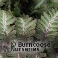 Small image of ATHYRIUM - see HARDY FERN
