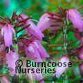 Photo of HEATHERS Erica carnea 'Ann Sparkes'