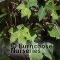 HEDERA helix 'Green Ripple'