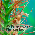 Small image of HEDYCHIUM