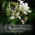 Photo of HEDYCHIUM flavum
