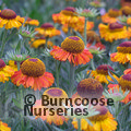 HELENIUM autumnale 'Short and Sassy'