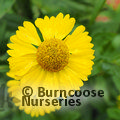 Photo of HELENIUM autumnale 'Sombrero'