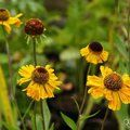 Small image of HELENIUM