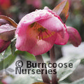 Photo of HELLEBORUS 'Dorothy's Dawn'