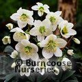 Photo of Helleborus 'Christmas Rose' for £25.00