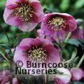 Photo of HELLEBORUS orientalis 'Pink Lady'