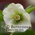 Small image of HELLEBORUS