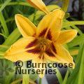 Small image of HEMEROCALLIS