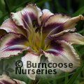 HEMEROCALLIS 'Destined to See'