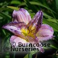 HEMEROCALLIS 'Magnificent Rainbow'
