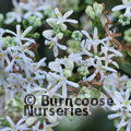 Small image of HEPTACODIUM