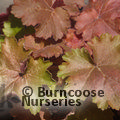 Small image of HEUCHERA