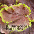 Small image of x HEUCHERELLA