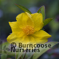 Small image of HIBBERTIA