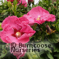Small image of HIBISCUS