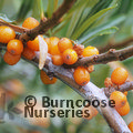 Small image of HIPPOPHAE