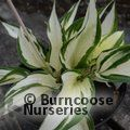 Small image of HOSTA