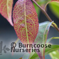 Small image of HUODENDRON