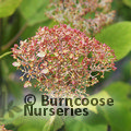 HYDRANGEA arborescens 'Magical Pinkerbell'