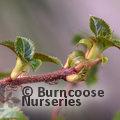 HYDRANGEA petiolaris var. cordifolia