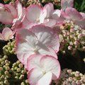 Photo of Buy 1 Hydrangea Love You Kiss and save £5.00, inc c&p and gift wrap. <br/>Available without giftwrap