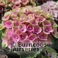 HYDRANGEA 'Magical Coral'