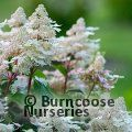 HYDRANGEA paniculata 'Early Harry'