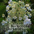HYDRANGEA paniculata 'White Moth'