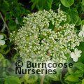 HYDRANGEA petiolaris 'Mirranda'