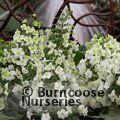 HYDRANGEA quercifolia 'Snowflake'