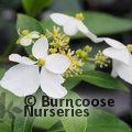 HYDRANGEA scandens subsp. chinensis