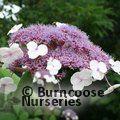 HYDRANGEA villosa - see aspera Villosa group