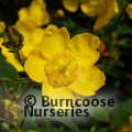 Small image of HYPERICUM
