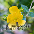 Photo of HYPERICUM lancasteri