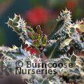 ILEX aquifolium 'Ferox-Argentea'