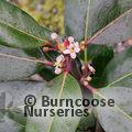 ILEX x altaclerensis 'Camelliifolia'