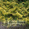 Ilex Crenata \'Golden Gem\' from Burncoose Nurseries