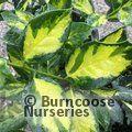 ILEX x altaclerensis 'Camelliifolia Variegata'