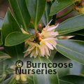 Small image of ILLICIUM