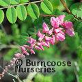 Small image of INDIGOFERA