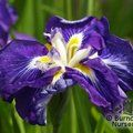 IRIS ensata 'Ruffled Dimitry'