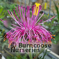 Small image of ISOPOGON