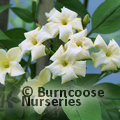 Small image of JASMINUM